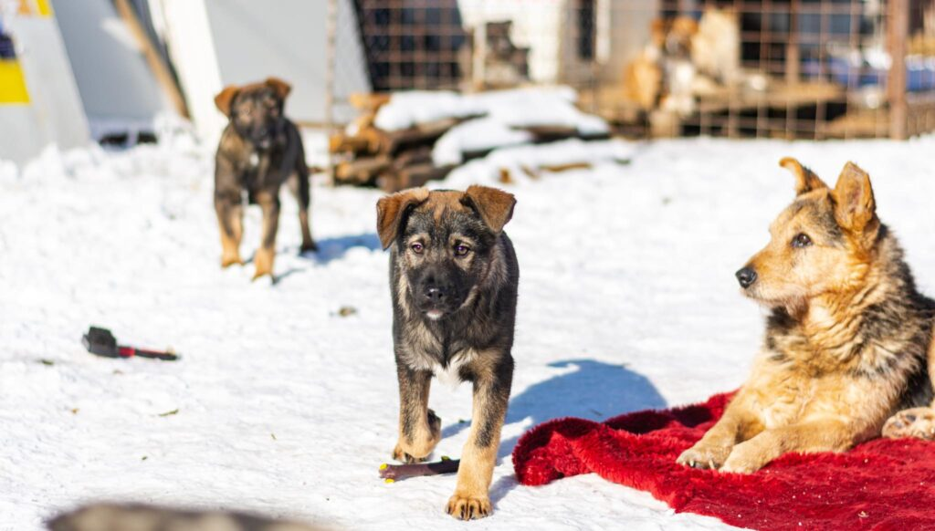 Romanian Rescue Appeal Brasov Pups