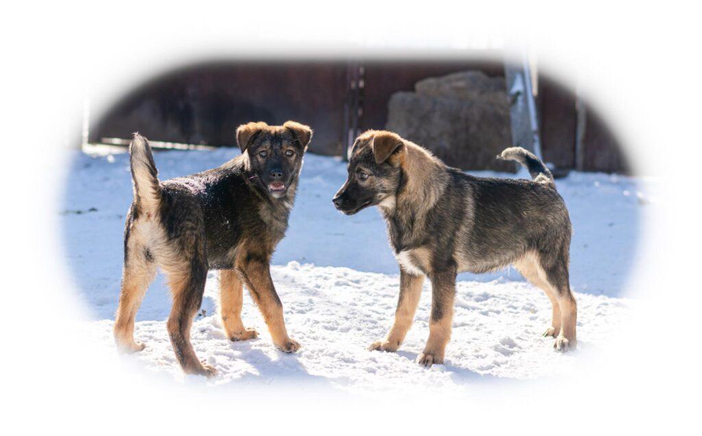 Romanian Rescue Appeal Brasov Pups 2